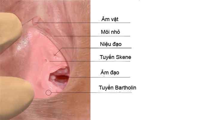 Tuyến Skene là gì? giải phẫu, chức năng & rối loạn thường gặp